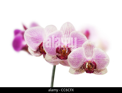 Purple orchid flower on a white isolated background - Stock Photo