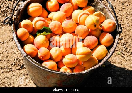 Bucket of Freshly Harvested Apricots - Stock Photo