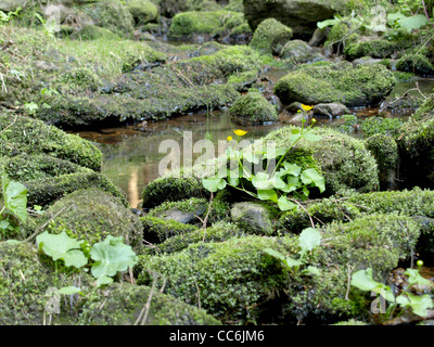 little stream with mossy stones and kingcup, marsh marigold / kleiner Bach mit bemoosten Steinen und Sumpfdotterblumen - Stock Photo