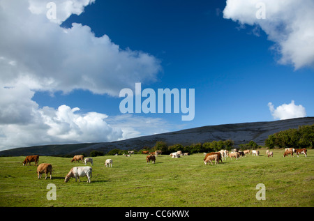 Cattle grazing in a field, The Burren, County Clare, Ireland. - Stock Photo