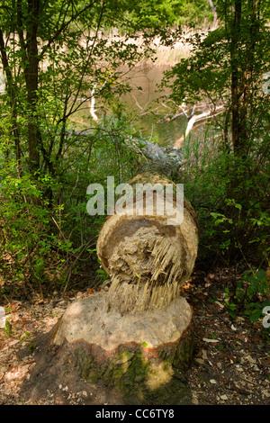 Österreich, Wien 22, Erholungsgebiet Lobau im Nationalpark Donau-Auen, ein von Bibern gefällter Baum Stock Photo
