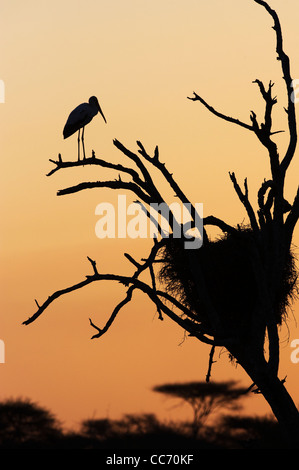 A Yellow-billed Stork roosting at sunset - Stock Photo