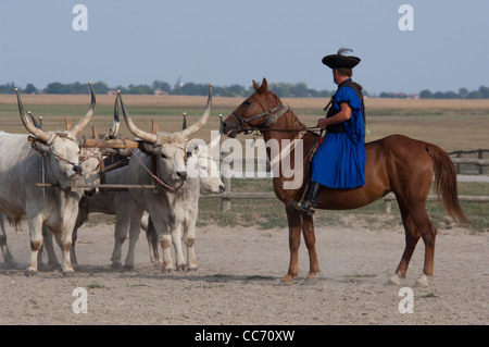 Hungary, Kalocsa. Traditional Hungarian horse show with Hungarian gray cattle. - Stock Photo