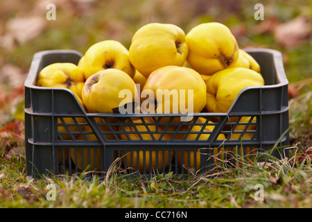 Freshly harvested quinces in a crate on the grass - Stock Photo