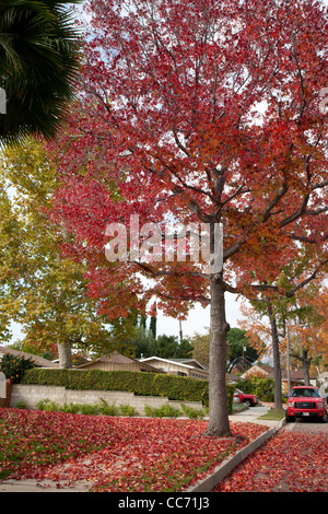 Liquid Amber Tree with Red Fall Leaves - Stock Photo