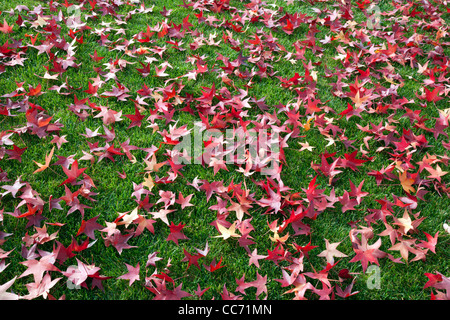 Red Liquid Amber Leaves on Green Lawn - Stock Photo