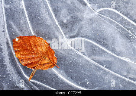Autumn leaf of European Beech (Fagus sylvatica) on ice of frozen pond in winter - Stock Photo