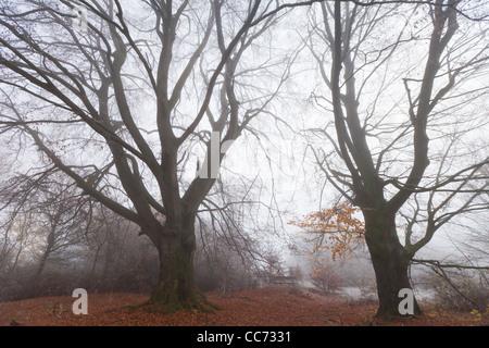 Beech Tree (Fagus sylvatica), Two Mature Trees in Autumn Mist, Hessen, Germany - Stock Photo