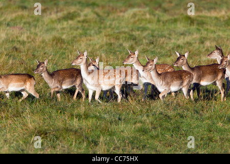 Fallow Deer (Dama dama), Herd of Hinds, Sjaelland, Denmark - Stock Photo