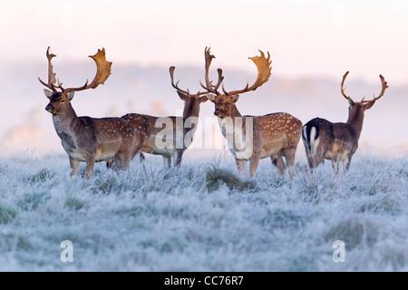Fallow Deer (Dama dama), Four Bucks at Dawn, during the Rut, Royal Deer Park, Klampenborg, Copenhagen, Sjaelland, - Stock Photo