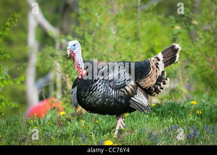 Turkey on green meadow (lat. meleagris gallopavo) - Stock Photo