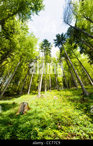 Wide angle view of a colorful spring forest - Stock Photo