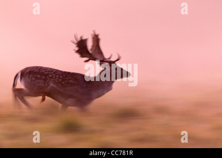 Fallow Deer (Dama dama), Buck Running in Dawn Light, Royal Deer Park, Klampenborg, Copenhagen, Sjaelland, Denmark - Stock Photo