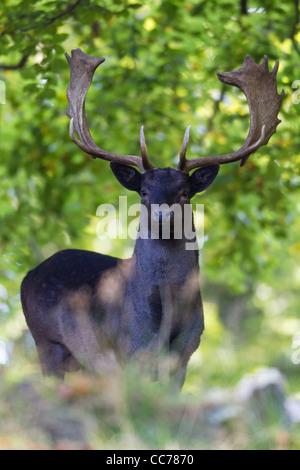 Fallow Deer (Dama dama), Black Buck Aler, Royal Deer Park, Klampenborg, Copenhagen, Sjaelland, Denmark - Stock Photo