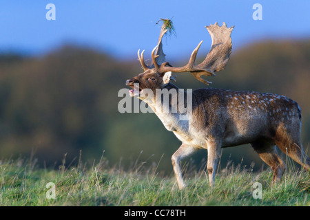 Fallow Deer (Dama dama), Buck Roaring during the Rut, Royal Deer Park, Klampenborg, Copenhagen, Sjaelland, Denmark - Stock Photo