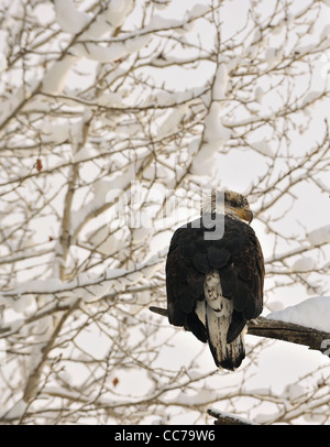 Portrait of an eagle of a dead tree sitting on a branch. Haliaeetus leucocephalus washingtoniensis. - Stock Photo