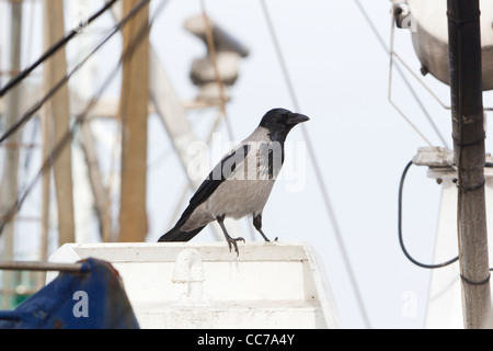 Hooded Crow (Corvus corone cornix), Perched on Fishing Boat, Gillelje Harbour, Sjaelland, Denmark - Stock Photo