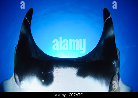 A sunball behind a Giant manta ray (Manta birostris) near San Benedicto Island of the Revillagigedo Islands in Mexico. - Stock Photo