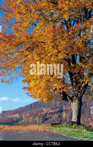 Common Lime Tree (Tilia europaea), in Autumn Colour, Hessen, Germany - Stock Photo