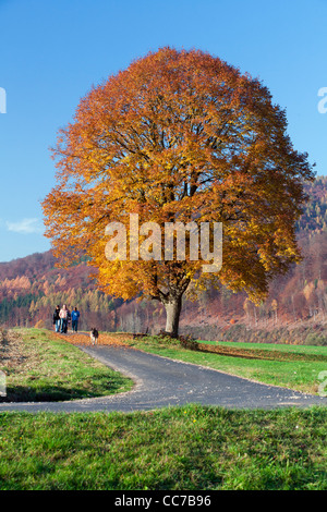 Common Lime Tree (Tilia europaea), in Autumn Colour, Three people with Dog Walking past, Hessen, Germany - Stock Photo