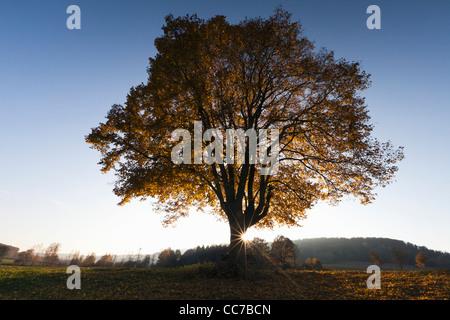 Common Lime Tree (Tilia europaea), and Setting Sun in Autumn, Hessen, Germany - Stock Photo