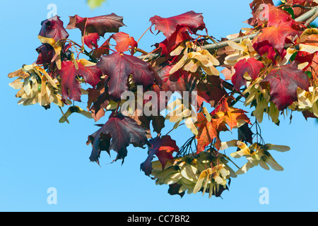 Norway Maple (Acer platanoides), Leaves and Seeds, in Autumn Colour, Lower Saxony, Germany - Stock Photo