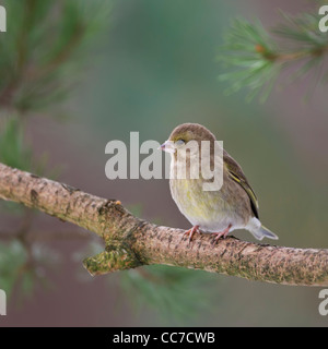 Female Greenfinch (Carduelis Chloris) perched on a Scots Pine tree in the highlands of Scotland - Stock Photo
