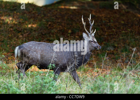 Sika Deer (Cervus nippon), Stag, Royal Deer Park , Klampenborg, Copenhagen, Sjaelland, Denmark - Stock Photo