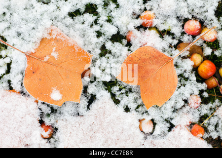 Tulip Tree (Liriodendron tulipifera) Leaves on ground, covered with frost, Lower Saxony, Germany - Stock Photo