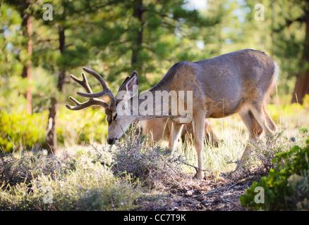 Mule deer (lat. Odocoileus hemionus) in the woods of Bryce Canyon National Park, Utah, USA - Stock Photo