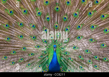 central view of a male Indian Peafowl's (lat. Pavo cristatus) plumage - Stock Photo