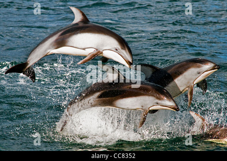 Pacific White-sided Dolphins (Lagenorhynchus obliquidens / longidens / ognevi) jumping in the North Pacific Ocean, Canada