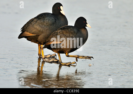 Two Eurasian coots (Fulica atra) walking on ice of frozen lake in winter - Stock Photo