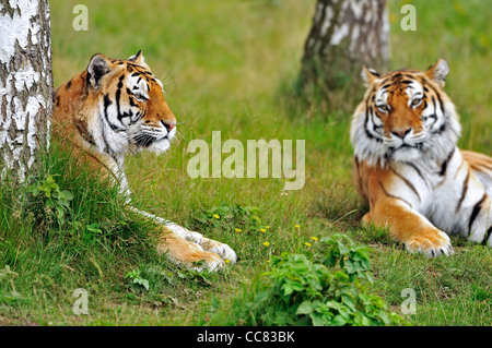 Two Siberian tigers / Amur tigers (Panthera tigris altaica) resting among trees, native to Russia and China - Stock Photo