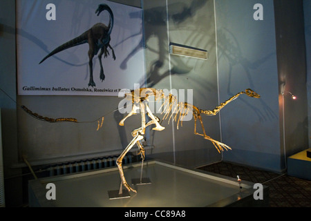 Dinosaur fossil in Natural History Museum Ulaanbaator Mongolia - Stock Photo