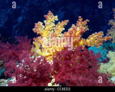 soft coral in the coral reef of the Red Sea - Stock Photo