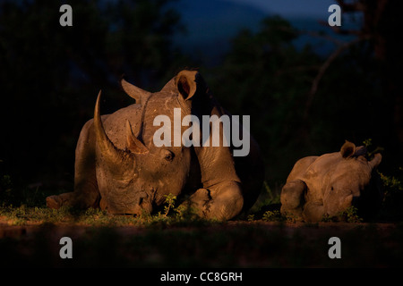 White Rhinoceros (Ceratotherium simum) at night. Endangered species. Near Threatened. Poaching target. Mother and - Stock Photo