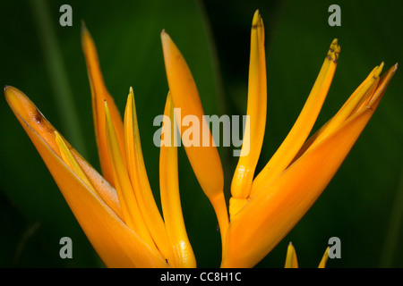 Bird of Paradise plant in St Lucia - Stock Photo