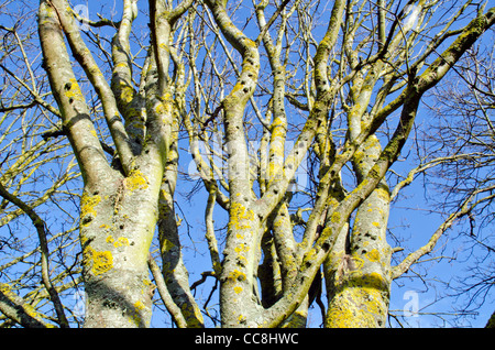 Looking up at bare leafless trees against blue sky in Winter in the UK. - Stock Photo