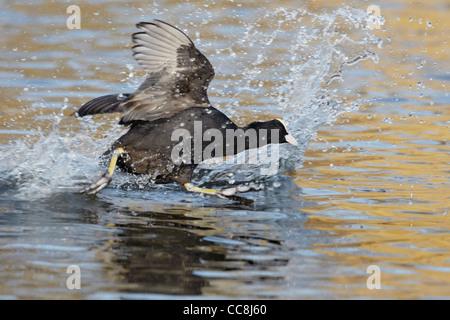 Coot (Fulica atra) running across water - Stock Photo