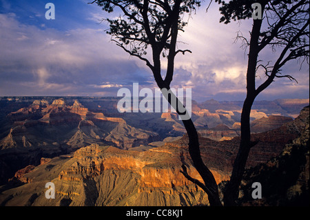 South Rim Grand Canyon taken near Yavapai Point sunset light on rock formations evening light with silhouetted tree - Stock Photo