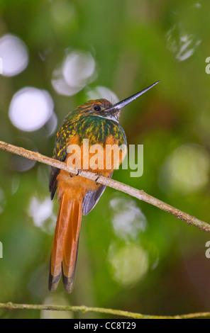 Rufous-tailed jacamar (Galbula ruficauda) in rain forest Arenal, Alajuela, Costa Rica. - Stock Photo