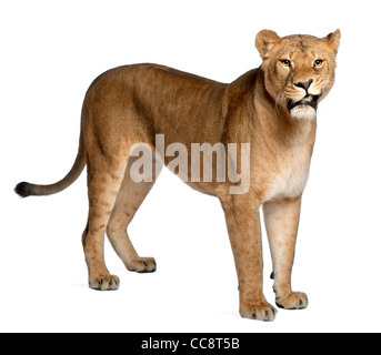 Lioness, Panthera leo, 3 years old, standing against white background - Stock Photo