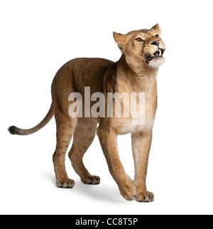 Lioness, Panthera leo, 3 years old, standing in front of white background - Stock Photo