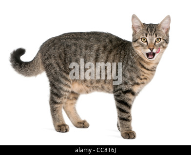 Mixed-breed cat, Felis catus, 6 months old, standing in front of white background - Stock Photo