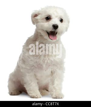 Maltese dog, 1 year old, sitting against white background - Stock Photo