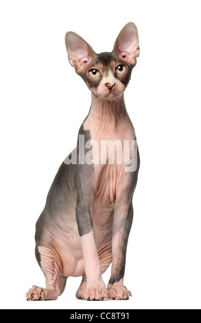 Sphynx cat, 7 months old, sitting in front of white background - Stock Photo