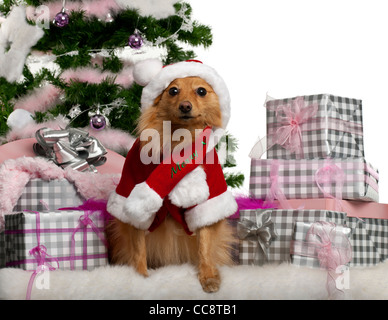 Mixed-breed dog sitting with Christmas tree and gifts in front of white background - Stock Photo