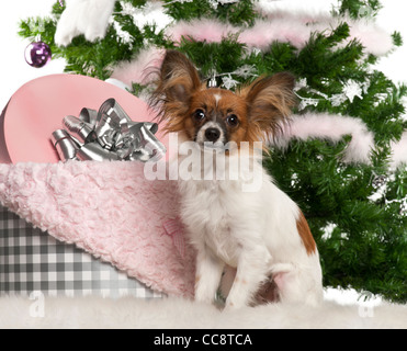 Papillon, 7 months old, sitting with Christmas tree and gifts - Stock Photo