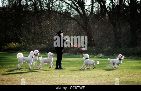 Man walking a team of five poodles - Stock Photo